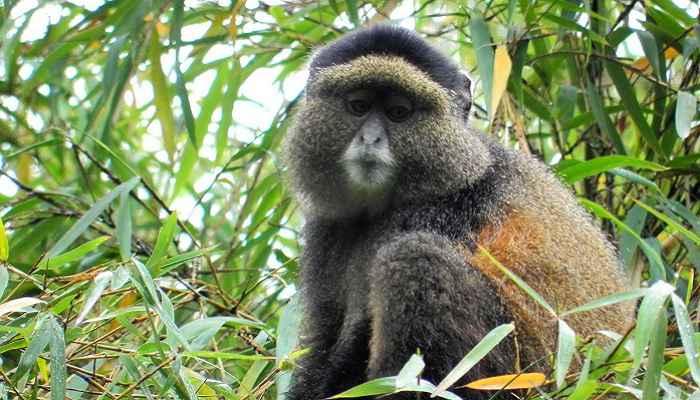 4 Days Gorillas and Golden Monkeys Safari in Uganda