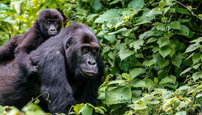 12 Days Rwanda Uganda Wildlife Safari